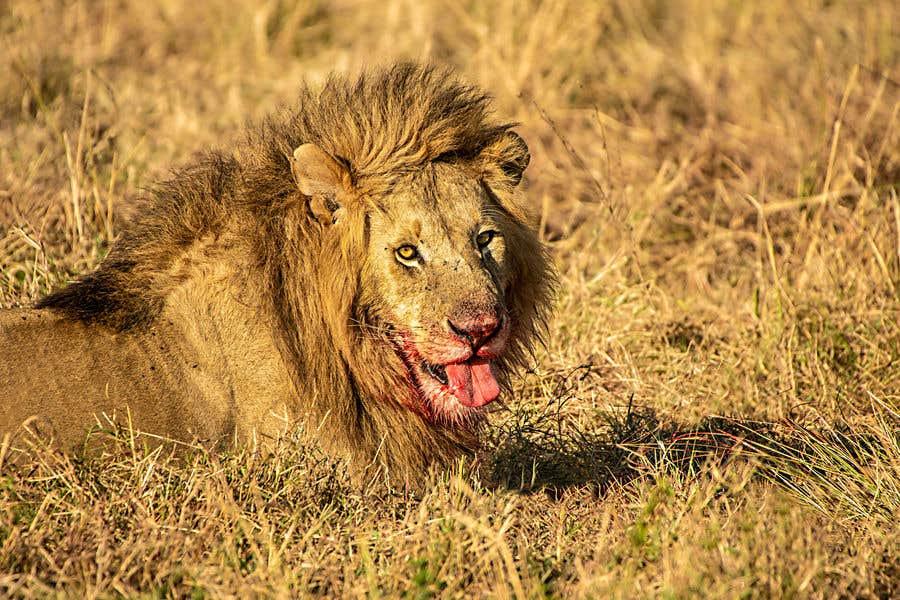 Bài tham dự cuộc thi #59 cho Lion contest (5)