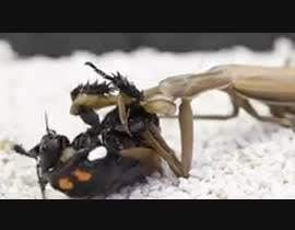#16 for Create a youtube VIDEO  --------  100 Praying MANTIS attacks in 2 minutes by RayaLink