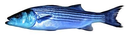 vishvjeetcheema tarafından Create fish art from photographs için no 24