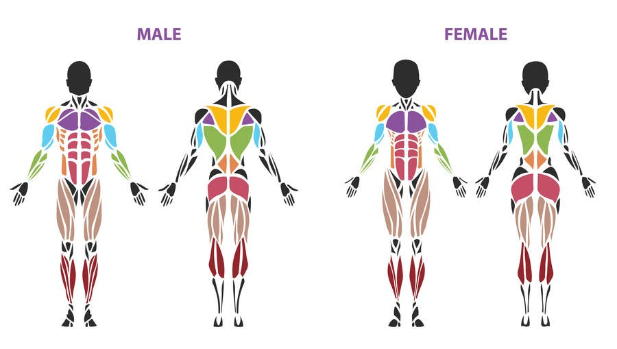 design a male and female muscle chart | freelancer, Cephalic Vein