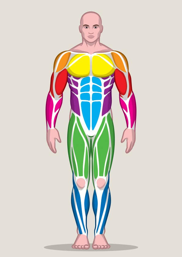 Entry 10 By Peshan For Design A Male And Female Muscle Chart
