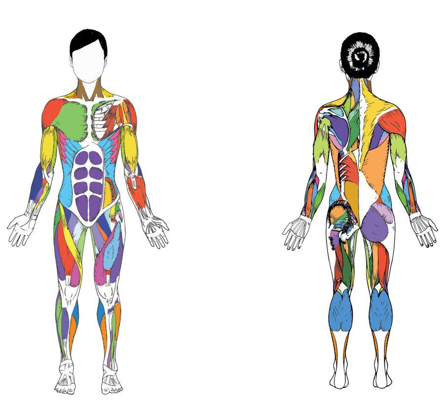 Entry 30 By Vahan9 For Design A Male And Female Muscle Chart