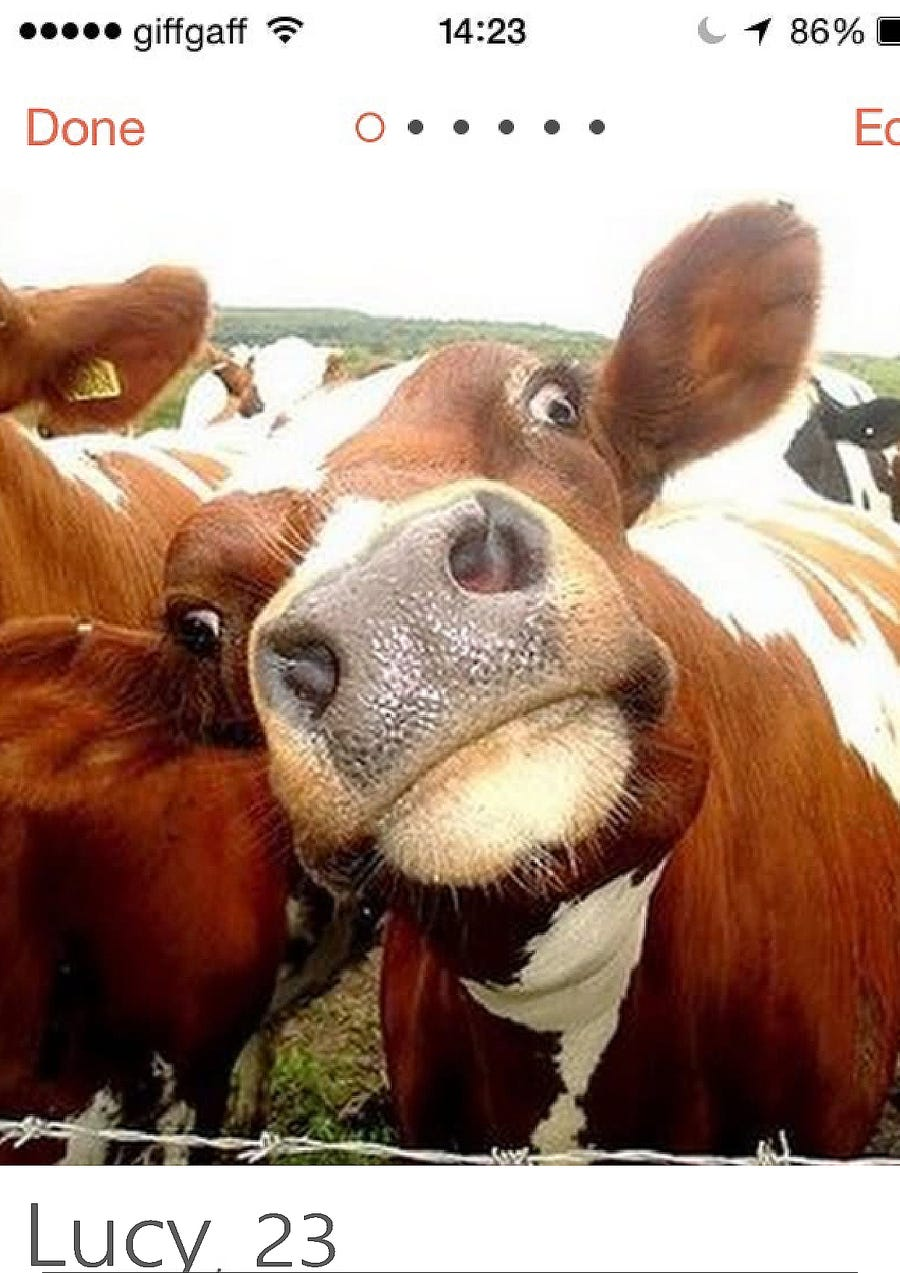 #1 para Create a Tinder Profile for a Cow searching for love de elagustinrojas